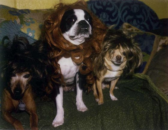 50 Pics Of Funny Dogs In Unusual Weird Wigs That Will Blow