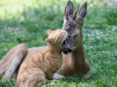 Unseen Animal Friendship of Cat & Deer Will Blow Your Mind