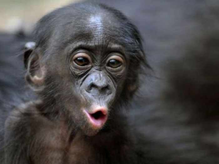 Best Funny Monkey Pictures Of All Time - 55 Pics -01